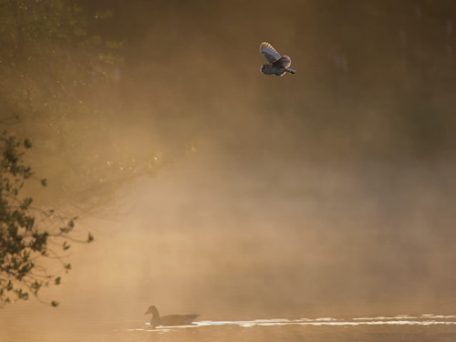 Barn Owl-misty dawn