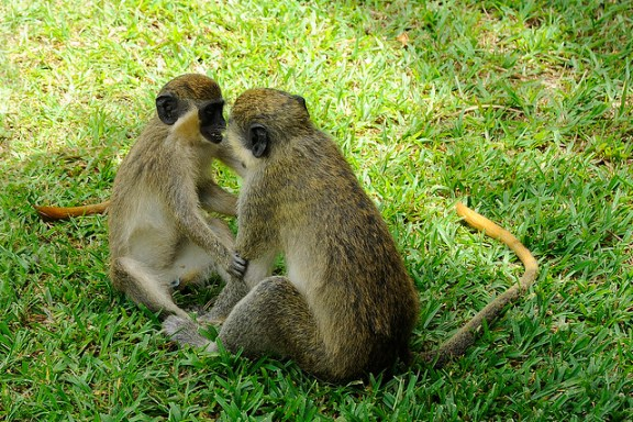 Green vervet monkeys, The Gambia
