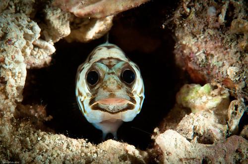 Unidentified jawfish  ( Opistognathidae sp ) Maeda Misaki, Okinawa