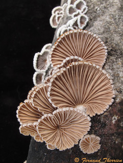 Schizophyllum commune / Schizophylle commun