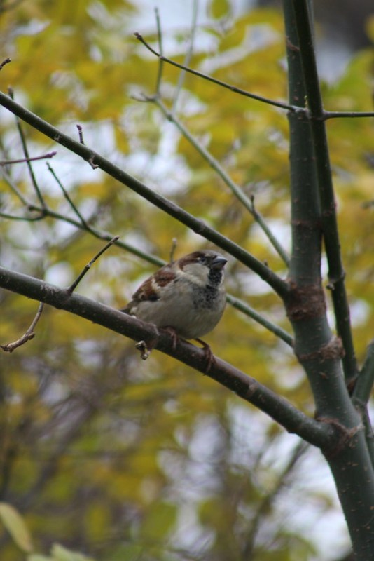 Male Sparrow on a Branch