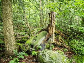 Tree on Rock at Hills Creek Falls