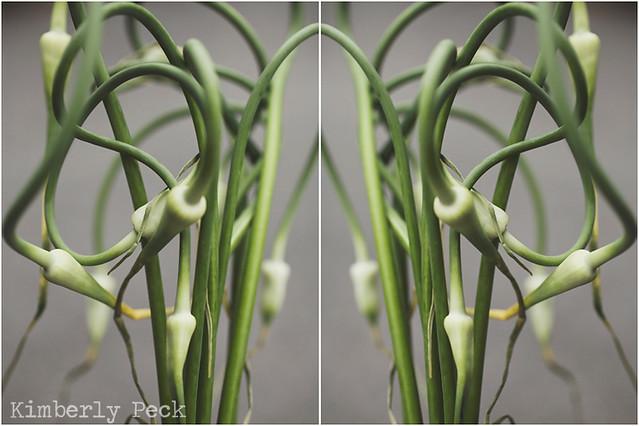 garlic scape double WEB