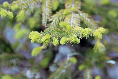 Baby Norwegian spruce