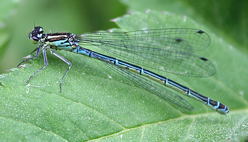 Azure Damselfly Coenagrion puella Tophill Low NR, East Yorkshire June 2013