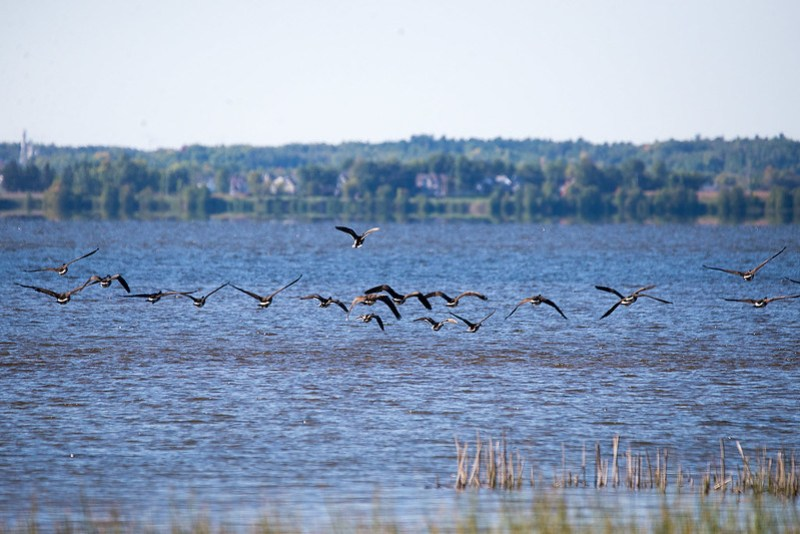 _DSC4465 Canada Geese