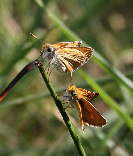 2012_06_13 VIC - Small Skipper (Thymelicus sylvestris) 03