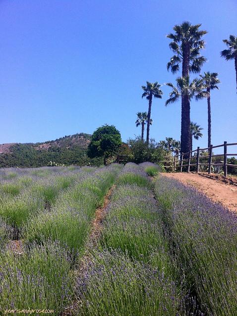 lavender_rows_web