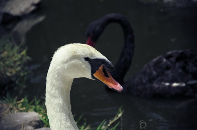 The swan lake: black and white swans