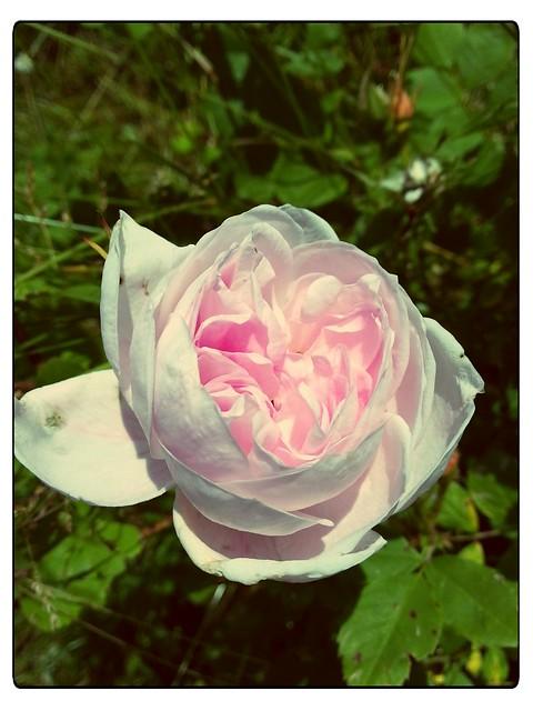 Den rosa