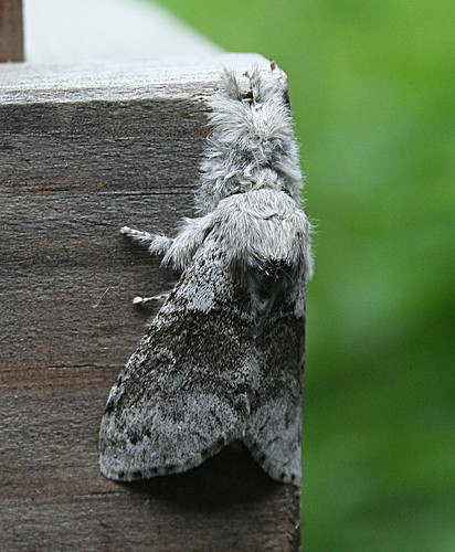 Pale Tussock Calliteara pudibunda Tophill Low NR, East Yorkshire June 2013