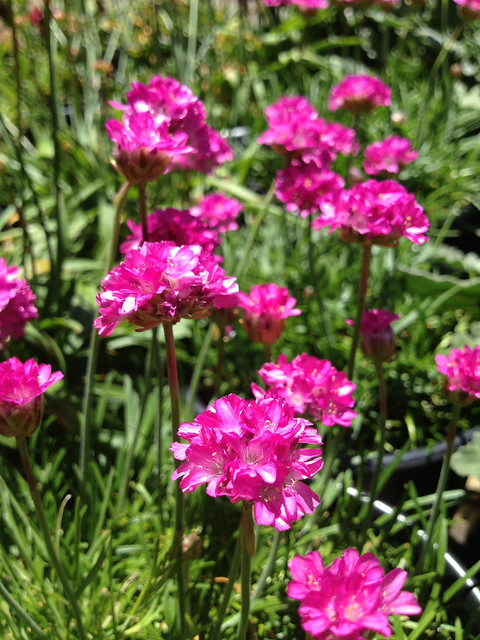 Ballerina red thrift flowers