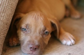 Red Nose Pit Bull Puppy
