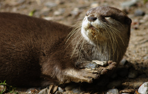 otter lying on pebbly sand. It is looking up and over its shoulder, eyes closed, face to the sunlight, as if about to sneeze.