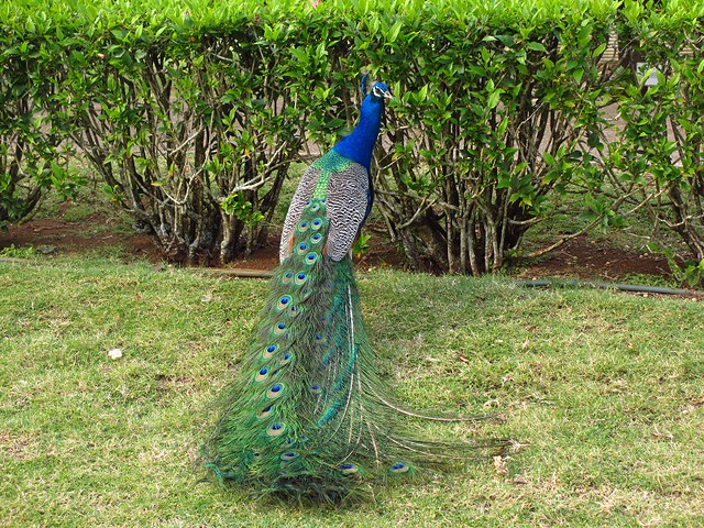 Peacock at Smith Family Luau