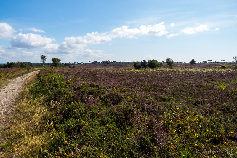 The heather in bloom on Canford Heath