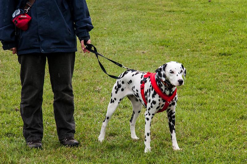 Young Dalmatian