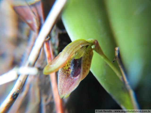 1067 - Acianthera saundersiana