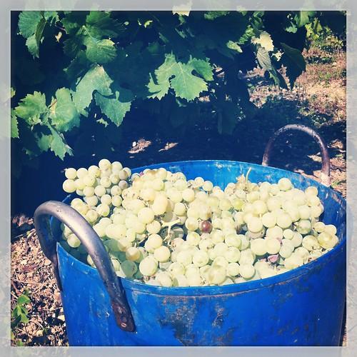 Cubo con uva recogida en la viña