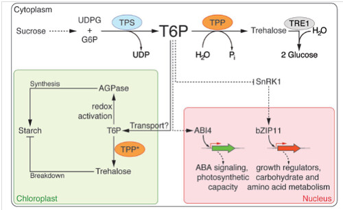 TREHALOSE: Role in Carbohydrate Metabolism and Plant ...