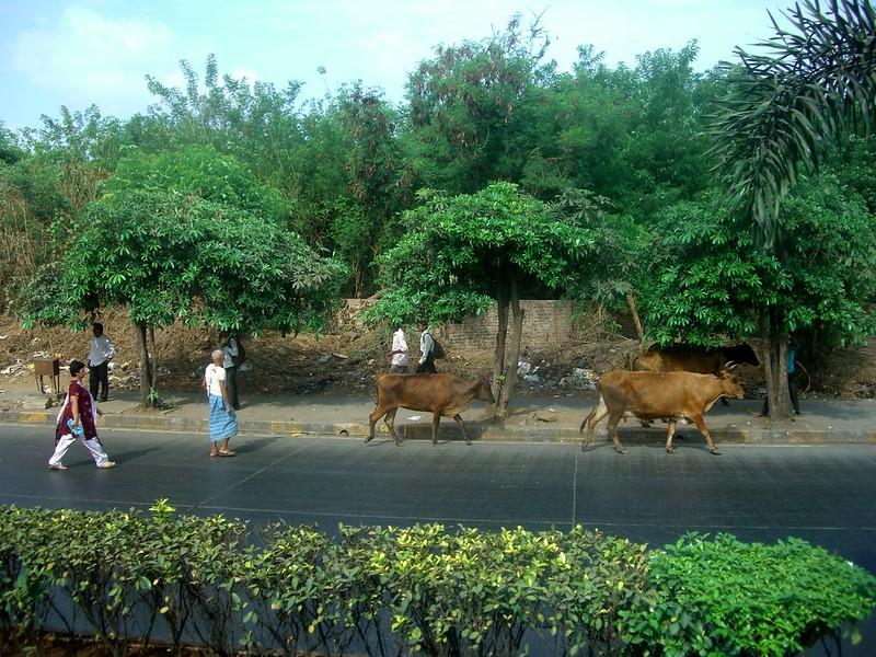 India Mumbai Cows