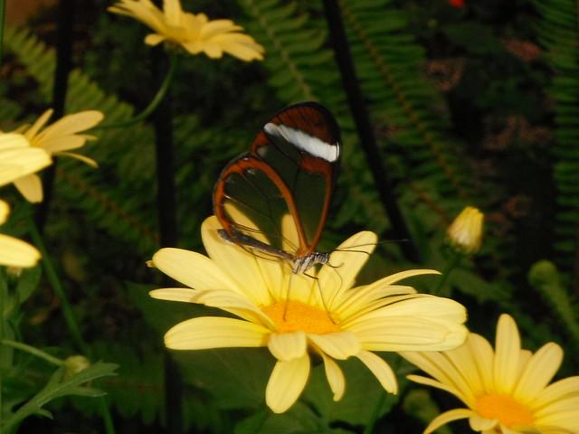 Прозрачная бабочка // Transparent butterfly