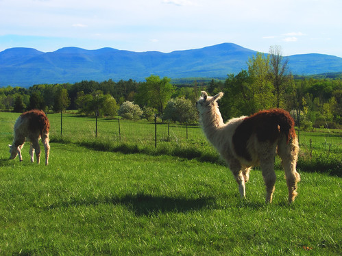 Llamas and Mountains