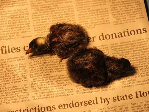 New Chicks!