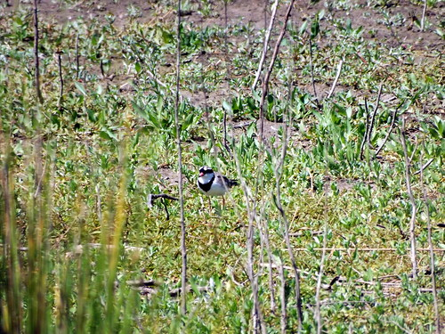 Black-fronted Dotterall