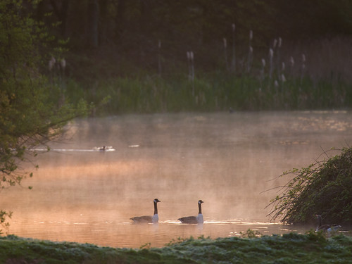 Canada Geese-morning mist