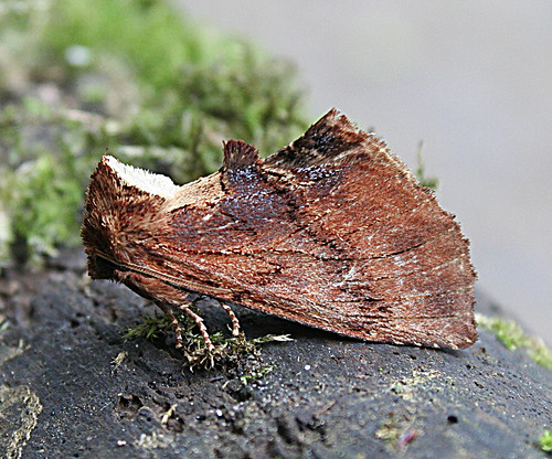 Coxcomb Prominent Ptildon capucina Tophill Low NR, East Yorkshire June 2013