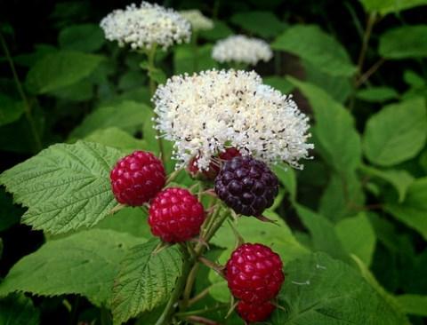Raspberries & Wild Hydrangea