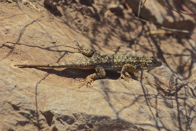 western fence lizard 0000 Pine Ridge Trail, Big Sur, CA, USA