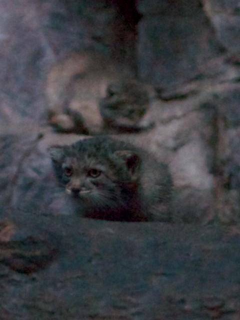 Pallas' Kitten Bokeh