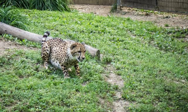 Cheetah at Washington Zoo