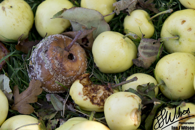 Rotten Apple – Daily Photo (18th July 2012)