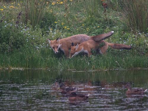 A pair of fox cubs