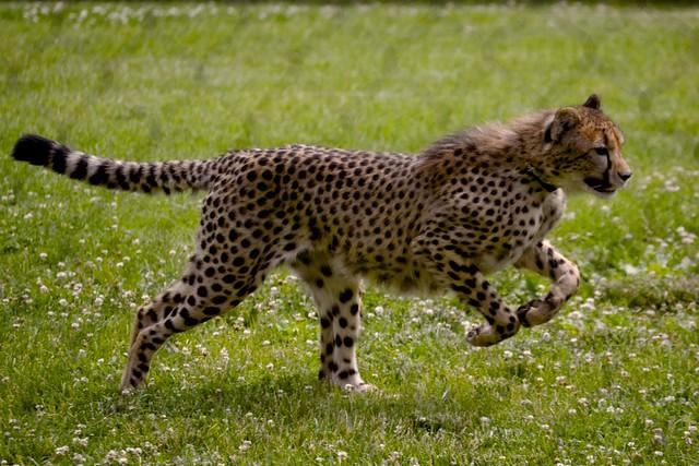 Savanna Runs!