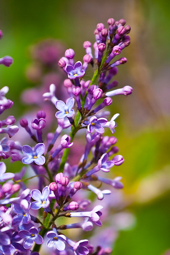 Lilac Buds by Corbin Elliott Photography, denver photographer