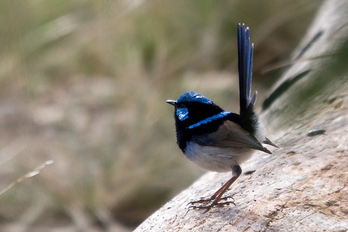 Superb Fairy-wren 2012-05-06 (_MG_7545)