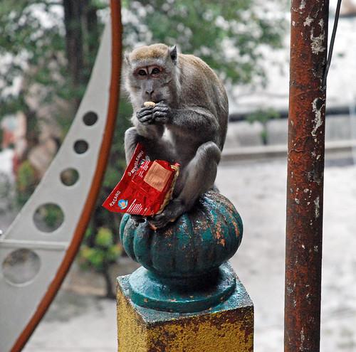 Macaque with peanuts