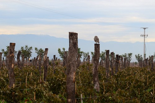 Owl watching the vines