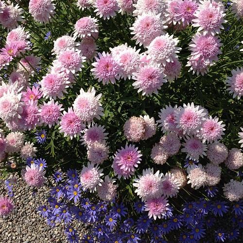 Flower #lago#maggiore#isola#madre