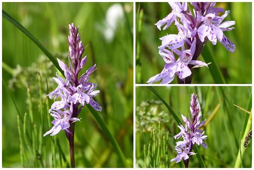 Orchideen im Ammertal 2013-06-1613