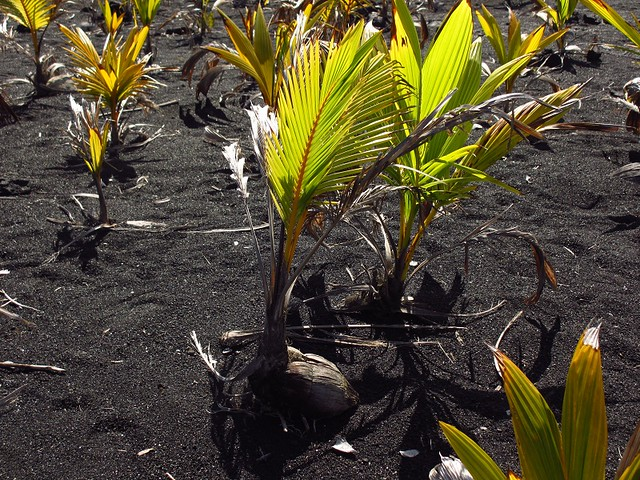 Coconut in black sand