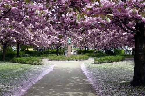 Japanske Kirsebær Frederiksberg