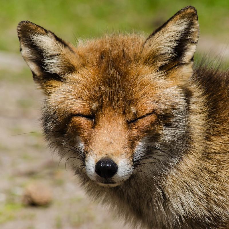 Fox Amsterdamse Waterleidingduinen