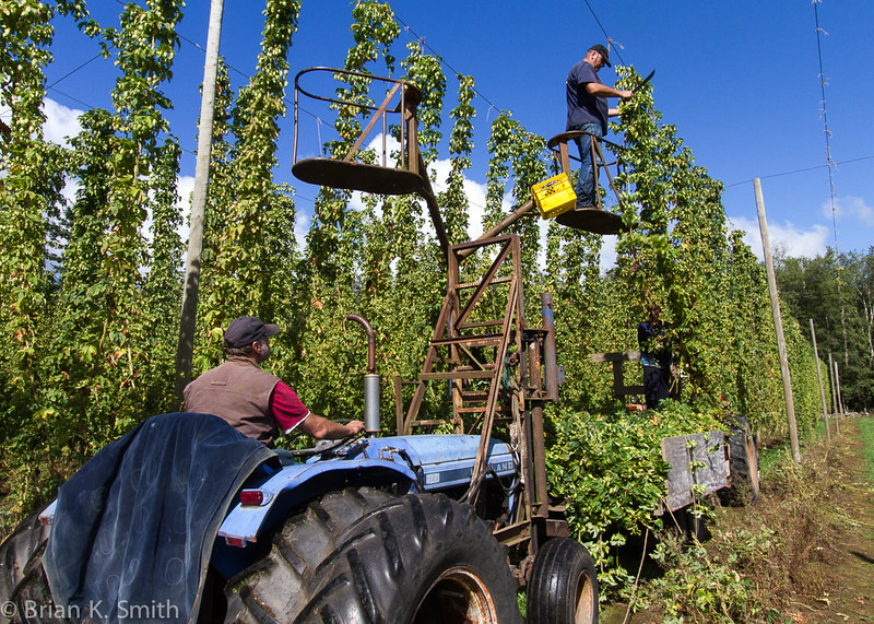 Sartori Cedar Ranch hop harvest.