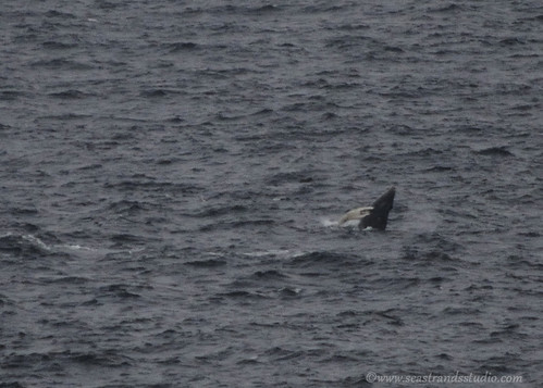 Humpbacks in Flatrock