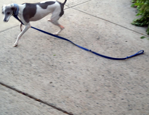 baddoggreyhound09299
